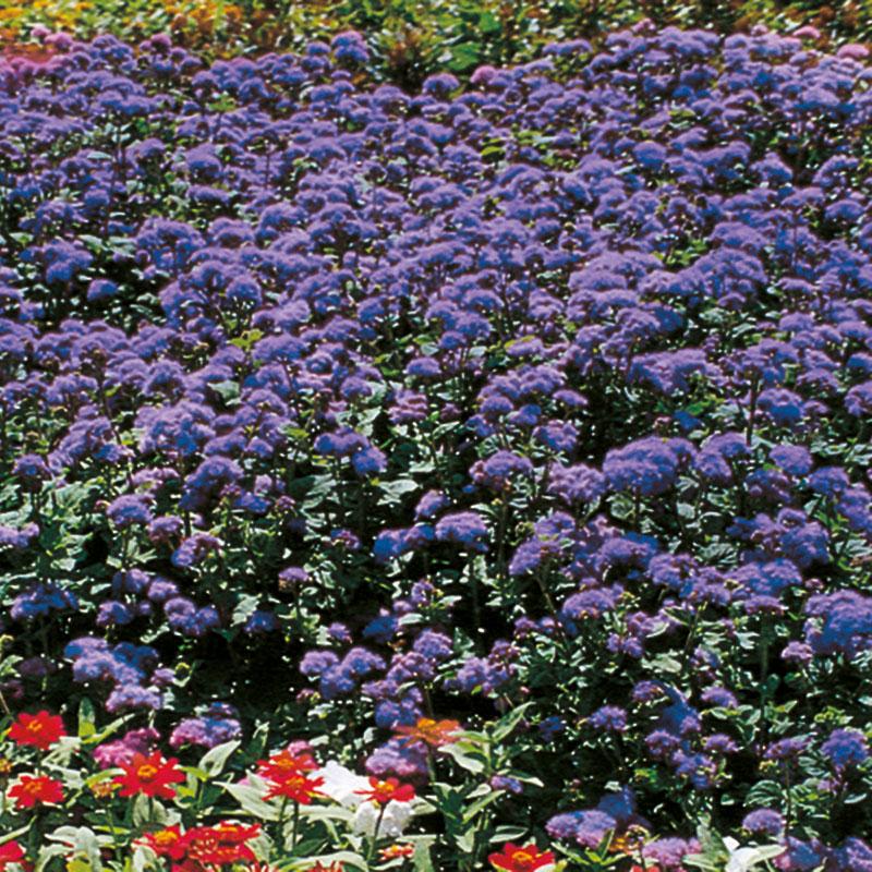 Ageratum-Blue-Horizon-Stars-plant