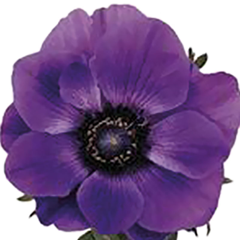 Anemone Marianne Blue Stars-Plant