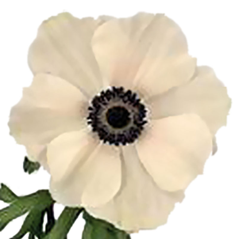 Anemone Marianne Panda Stars-Plant