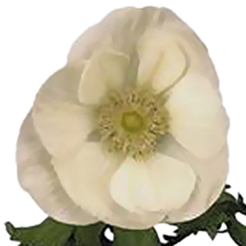 Anemone Marianne Pure White Stars-Plant