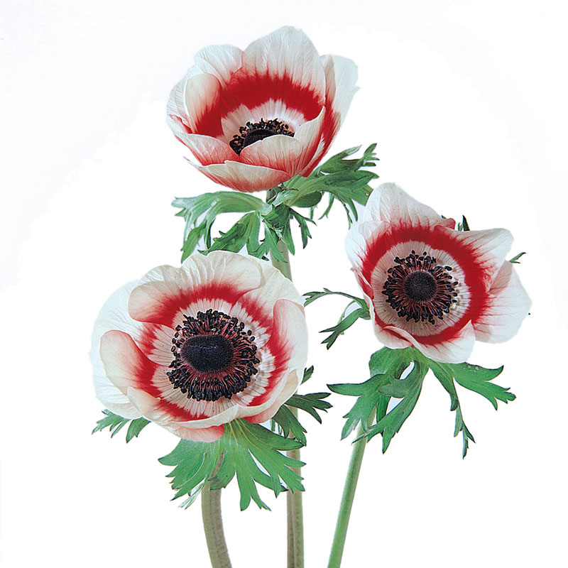 Anemone Mona Lisa Bicolor Red