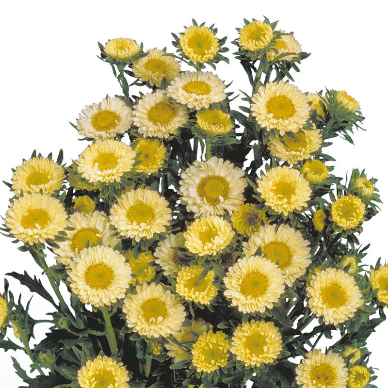 Callistephus Matsumoto Yellow